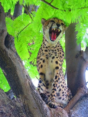 8. Attention loving cheetah, Cheetah park