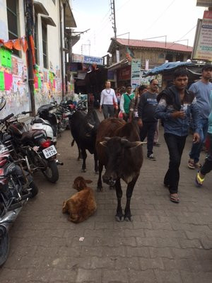Cows_rule_the_street.jpg