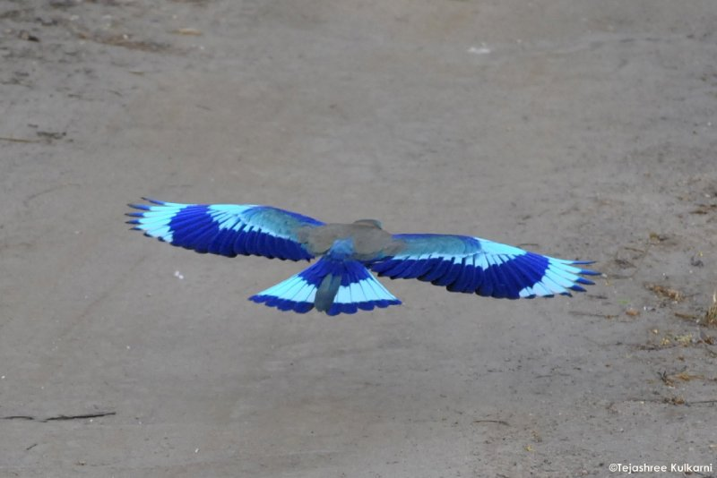 The great Indian Roller