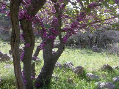 Israel_blooming tree (Galilee)