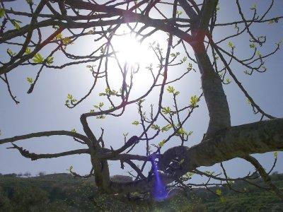 Fug tree in spring (Galilee, Israel)