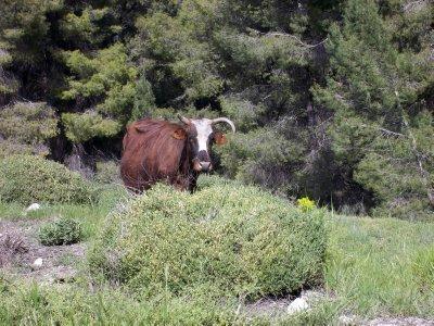 Israel_cow's land (Galilee)