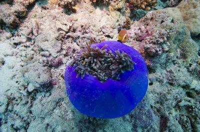 Maldives_anemone