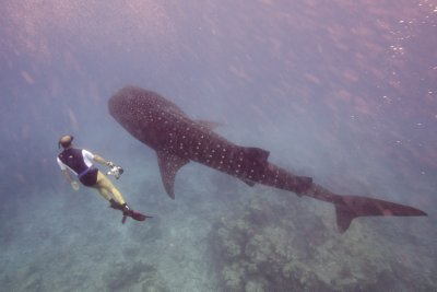 Maldives_WhaleShark