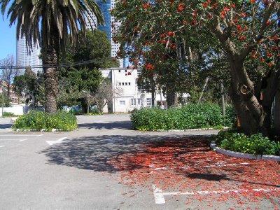 ISRAEL_tree in bloom (Tel Aviv)