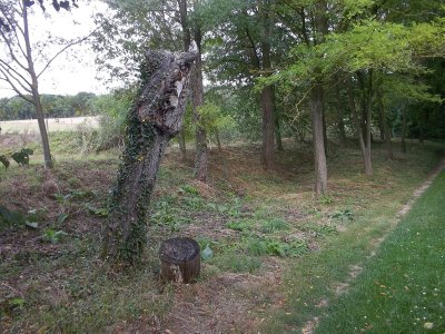 AU_tree full of hornets in Porrau