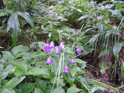 AU_Alpin flowers (Dachstein)