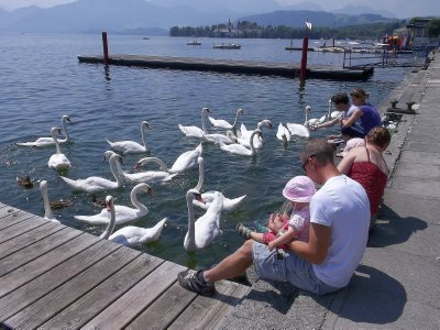 AU_swans on the lake in Gmunden