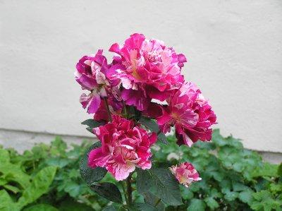 AU_Stift Klosterneuburg - roses