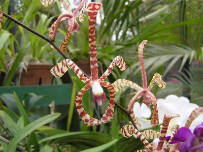 Sri Lanka_orchids