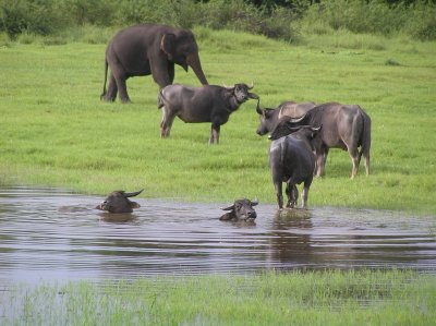 Sri Lanka_bathing buffalos