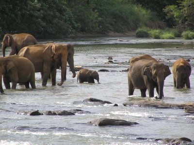 Sri Lanka_bathing elephants