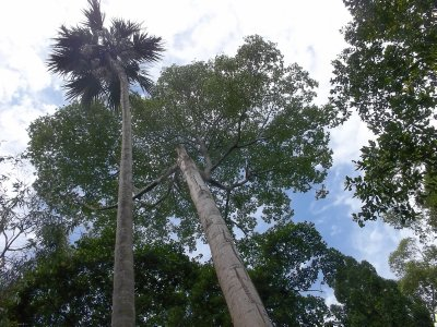 Sri Lanka_very tall trees