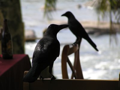 Sri Lanka_crows