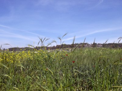 ISRAEL_Fields in spring