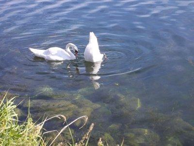 AU_swans (Donauinsel, Vienna)