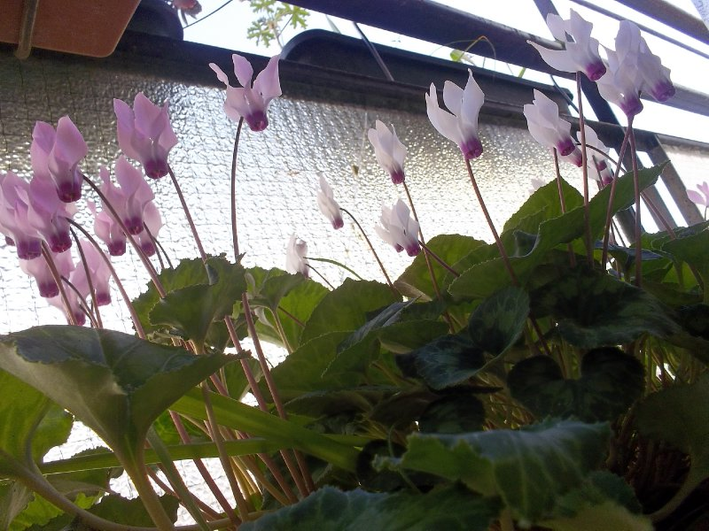 Cyclamens