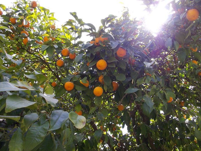 Clementinas in Galilee (Israel)
