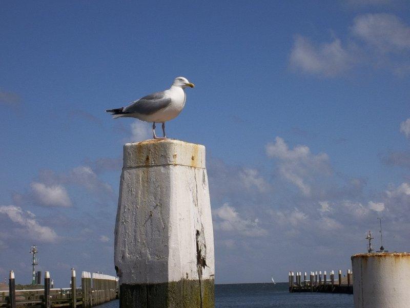 NL_Texel - seagull in Oudeschild Harbour