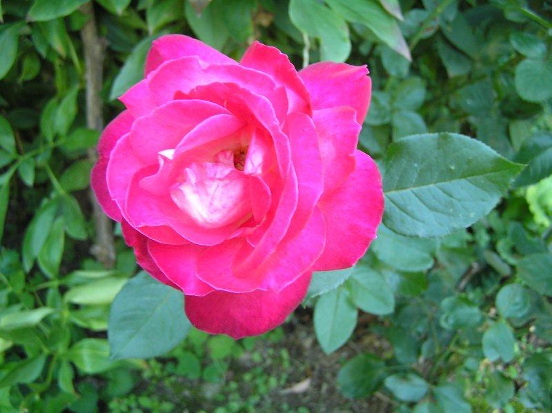 AU_Porrau_rose in Monika's garden