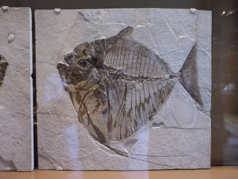 Vienna_NHM - stoned pre-historic fish