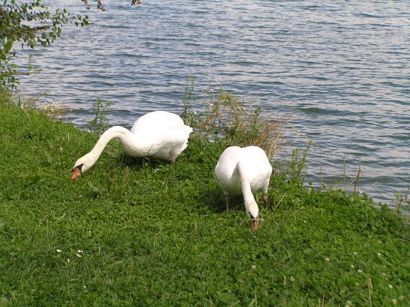 VIENNA_swans