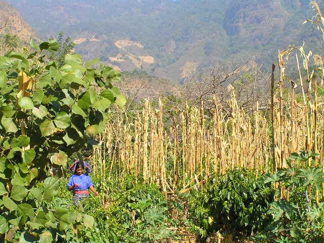 GUATEMALA - Lago Atitlan - San Marcos corn fields