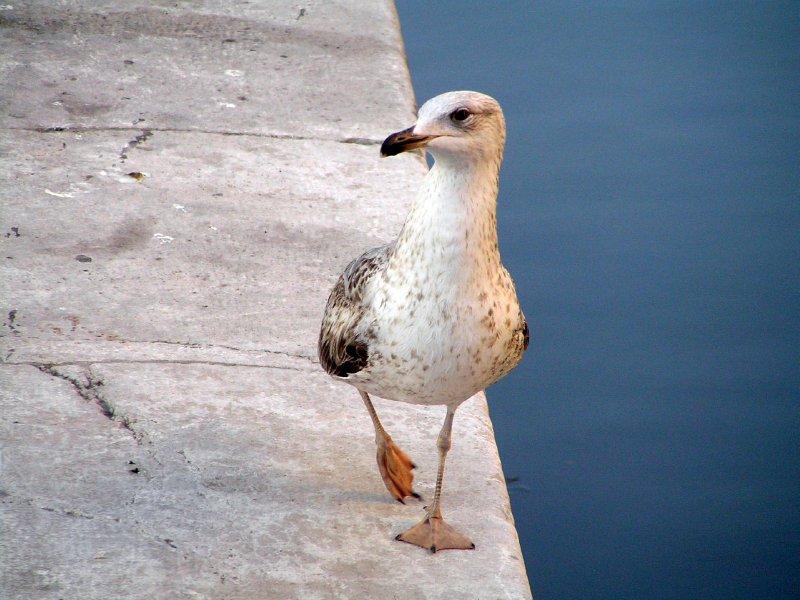 ITALY_Chioggia - guarding gull