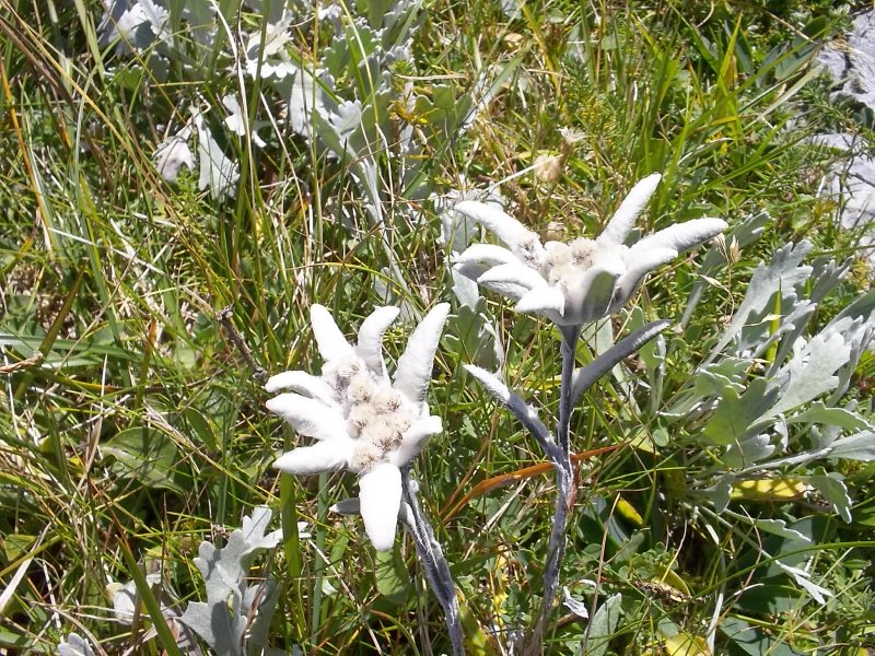 AU_edelweiss (Rax Mountains)