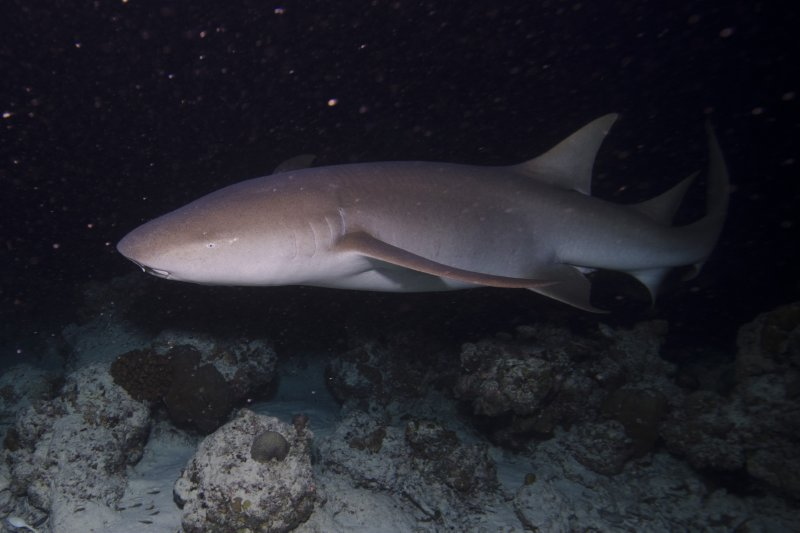 Maldives_nurse shark