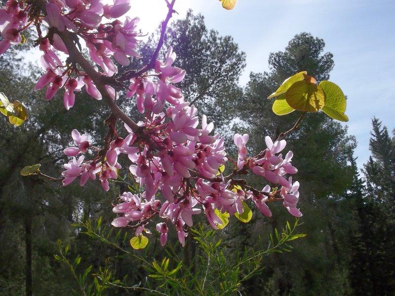 ISRAEL_blooming pink