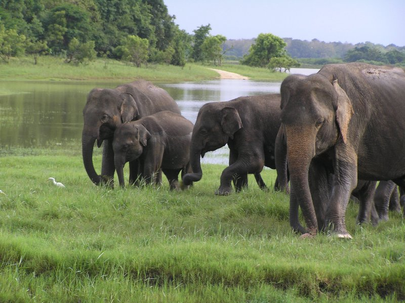 Sri Lanka_elephants family (Minneriya national Park)