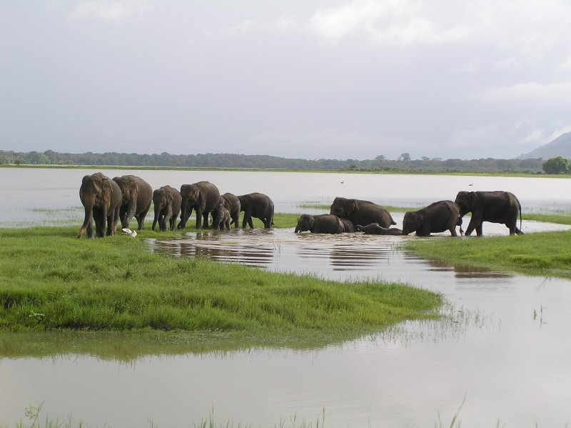 Sri Lanka_elephants crossing river