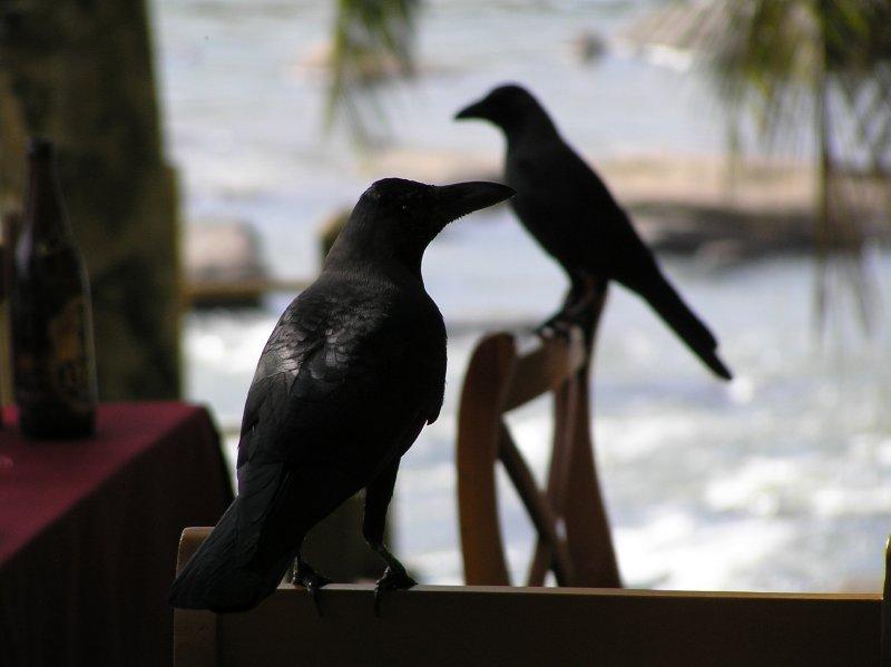 Sri Lanka_crows