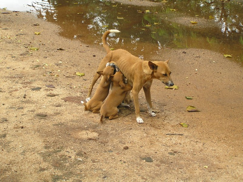 Sri Lanka_Hungry Puppies