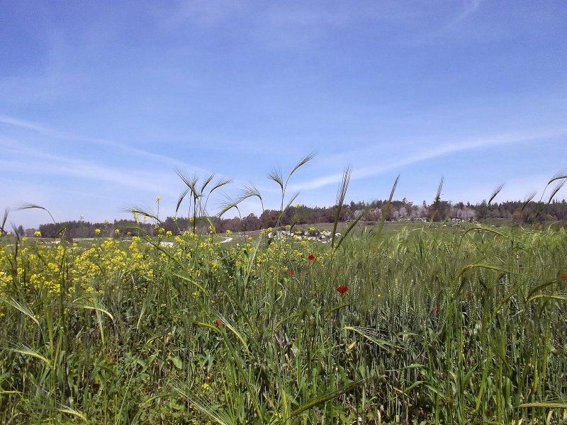 ISRAEL_Fields in spring