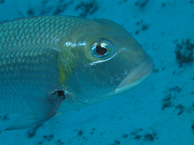 UNDERWATER_Bigeye Emperor (Red Sea, Egypt)