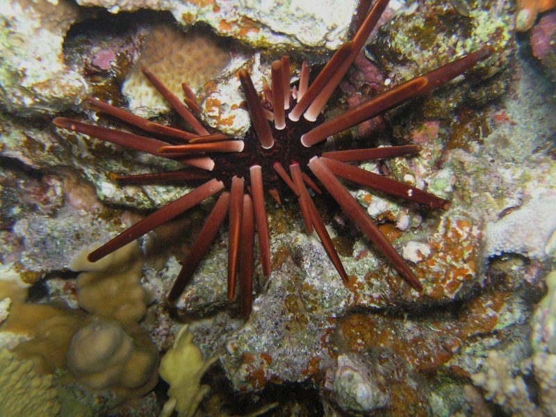 UNDERWATER_Pencil Urchin (Red Sea, Egypt)