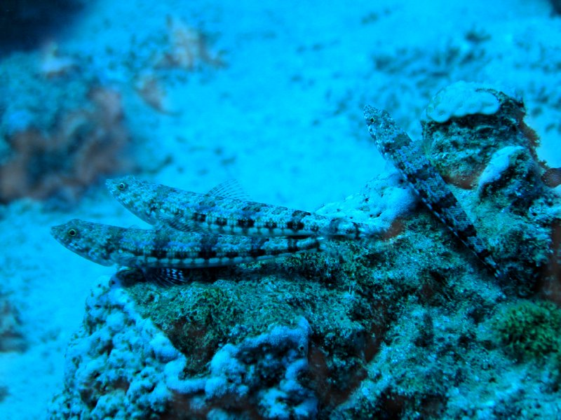 UNDERWATER_lizard fishes