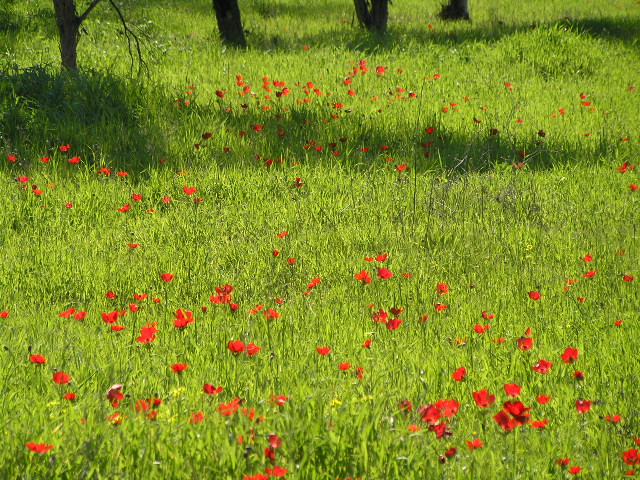 ISRAEL - winter, wild flowers
