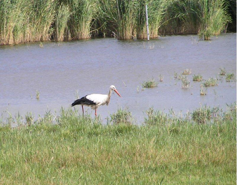 AUSTRIA_Rust - stork
