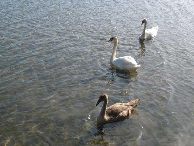 swans_09-2.jpg