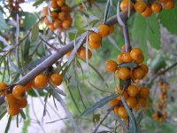 Sea Buckthorn Berries (oblepiha) on Donauinsel (Vienna)