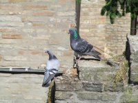 ITALY_Ravenna_doves on St Francis Church