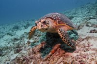 Maldives_turtle