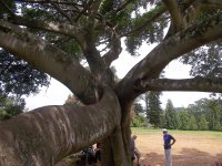 Sri Lanka_what a tree!