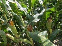 __corn__1_.jpg