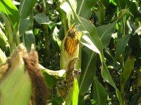 __corn__3_.jpg