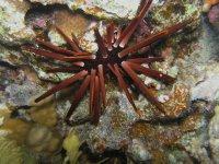 UNDERWATER_Pencil Urchin (Red Sea, Egypt)