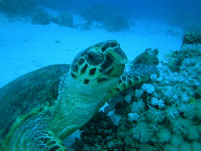 UNDERWATER_Red Sea turtle